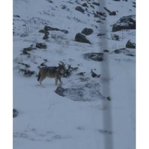 Wolves spotted in Les 3 Vallées (again)